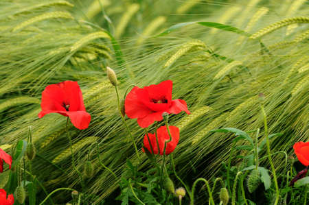 Poppies in a green wheat meadow. Italy.