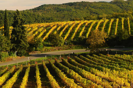 Yellow vineyard in chianti, tuscany, italy.