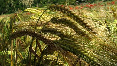 natures: Beautiful wheat field in Tuscany near Siena. Italy.
