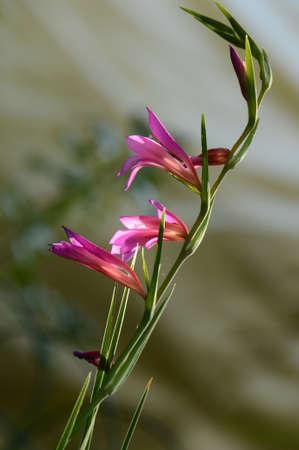 Purple Swordlily (Gladiolus) is a nature background.