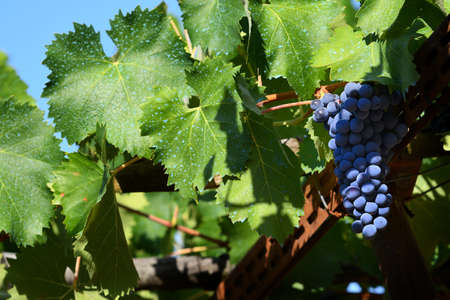 bunch of red grapes in a chianti vineyard. Tuscany, Italy. Standard-Bild