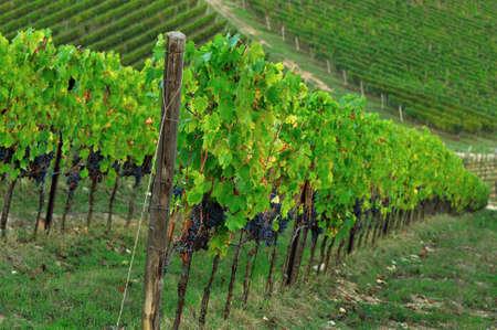 green vineyards in tuscany. Italy. Stock Photo
