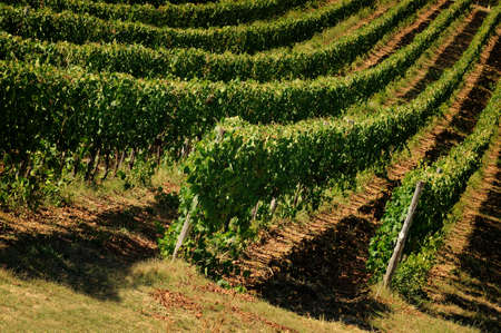 Rows of Vineyards in Tuscany. Chianti region near Florence, Italy.