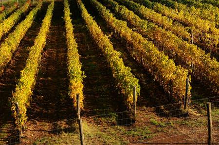 Rows of Vineyards in Tuscany. Chianti region near Florence, Italy.