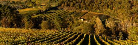 Beautiful rows of vineyards in Tuscany. Fall Season. Italy.