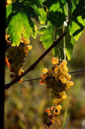white grapes on vineyard. Tuscany, Italy.