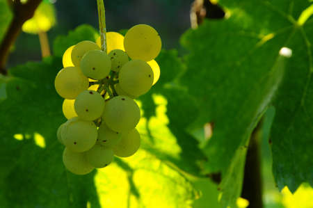 close up on white grapes in a vineyard, tuscany. Italy.