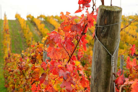 red leaves on a vineyard in tuscany region, chianti italy. Banco de Imagens