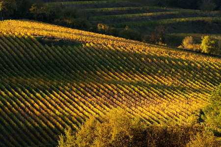 Beautiful colors in a vineyard during the autumn season. Italy. Stock Photo