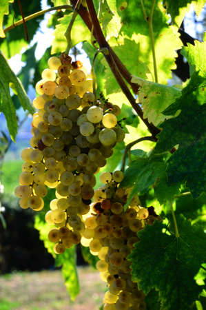 bunch of white grapes in a vineyard in chianti. Tuscany, Italy.