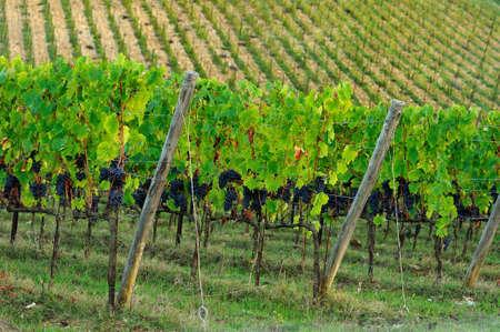 Green Vineyard in Autumn Season. Chianti region in Tuscany. Italy. Stock Photo