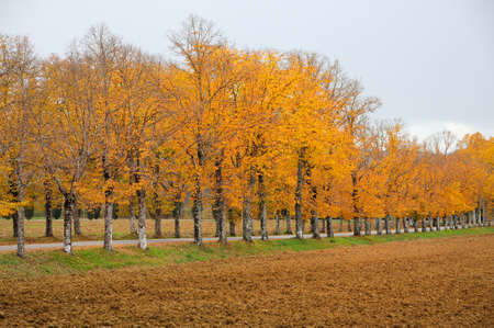 beautiful yellow trees near the famous Abbey of San Galgano in Tuscany. The abbey of San Galgano is a Cistercian abbey, located about thirty kilometers from Siena, in the municipality of Chiusdino. Italy. Stock Photo