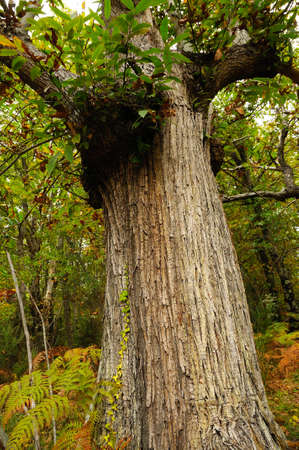 Autumn. chestnut tree in a forest in Tuscany. italy