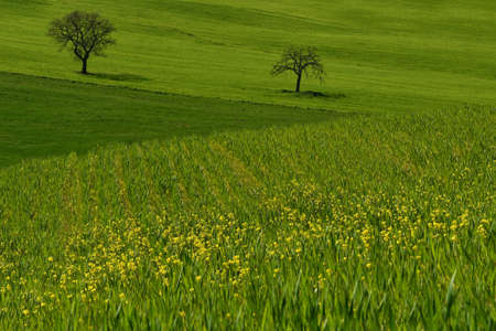 tuscan landscape, view of the green rolling hills in valdorcia with rape flowers and two trees on background, near Pienza, Siena. Tuscany, Italy.