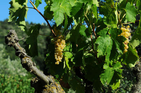 bunch of white grapes in a vineyard in Tuscany, Italy. 写真素材