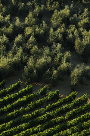 rows of green vineyards with olive trees in Chianti region during summer season. Tuscany, Italy.