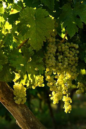 white grapes on vineyards in Chianti region. Tuscany, Italy.