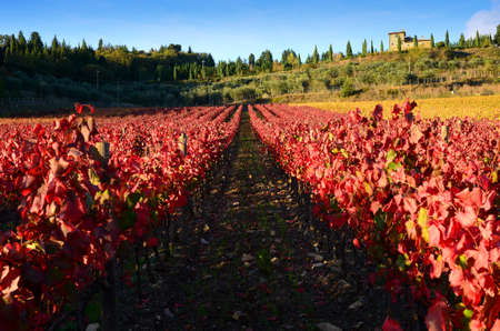 red and yellow vineyards in Chianti region near Greve in Chianti (Florence), Italy.