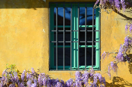 Beautiful purple flower wisteria in bloom on a house with green windows and yellow walls. Florence, Italy.