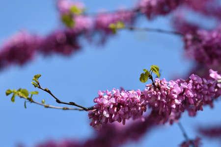 Mexican Redbud Tree Springtime Blossoms. Closeup on Flowers. Stockfoto