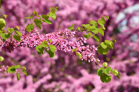 Mexican Redbud Tree Springtime Blossoms. Close-up on Flowers. Stock Photo