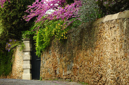 old street with stone wall and blooming trees (Judas trees) and wisteria in Florence. italy