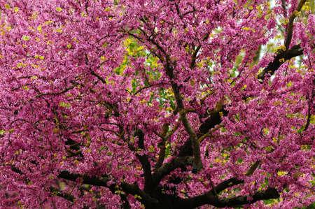 Mexican Redbud Tree Springtime Blossoms. Cercis siliquastrum.