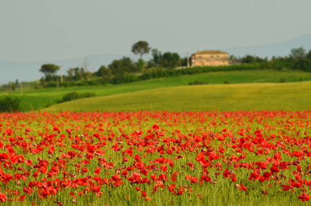 beautiful field of red poppies in a field of wheat with green hills in the background in Tuscany near Monteroni dArbia (Siena). Italy. Stockfoto