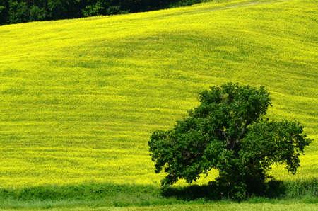 tree against beautiful field of yellow flowers near Pienza. Siena, Italy. Stockfoto