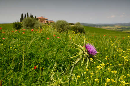 closeup on purple flower with other yellow flowers and poppies near Pienza. Siena, Italy. Stockfoto