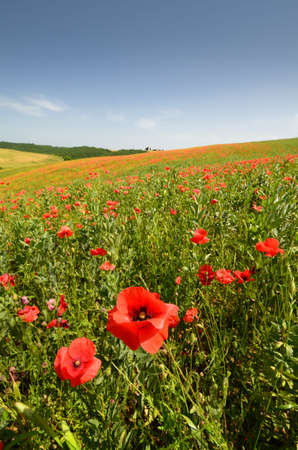 Beautiful field of red poppies near Pienza. Siena, Italy.