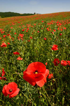 close up on red poppies near Pienza. Siena, Italy.