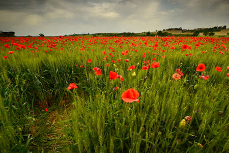 spectacular field of red poppies in a wheat field with cloudy sky in Tuscany near Monteroni dArbia (Siena). Italy.