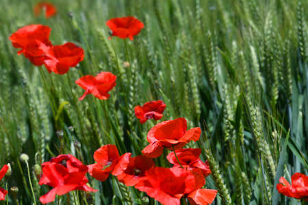 Close up on red poppies in a wheat field in Tuscany near San Quirico dOrcia (Siena). Italy. Stockfoto