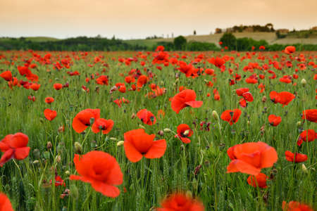 spectacular Tuscany spring landscape with red poppies in a green wheat field, near Monteroni dArbia, (Siena) Tuscany. Italy, Europe.