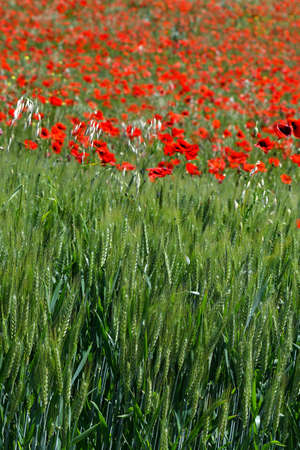 beautiful red poppies in a green wheat field in Tuscany near San Quirico dOrcia (Siena). Italy.