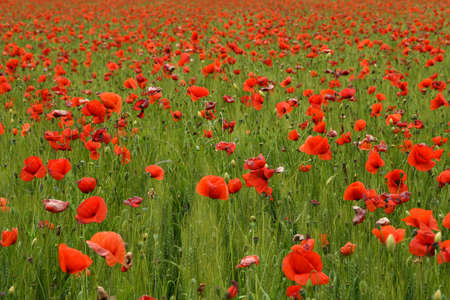 Spectacular field of red poppies  in Tuscany in a green wheat field, near Monteroni dArbia, (Siena) Tuscany. Italy, Europe.