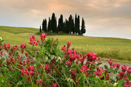 Val dOrcia, Italy- June, 2019 : Cypress trees near San Quirico dOrcia with Lupinella flowers in foreground and cloudy sky, Italy.
