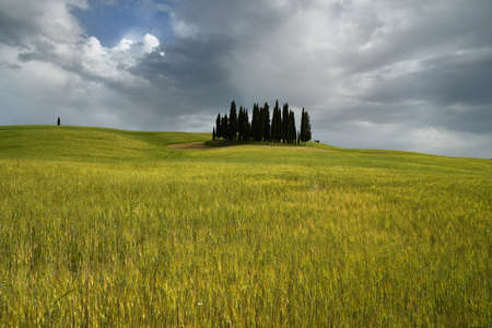 Val dOrcia, Italy- June, 2019 : green wheat field and cypress trees near San Quirico dOrcia with cloudy sky, Italy.