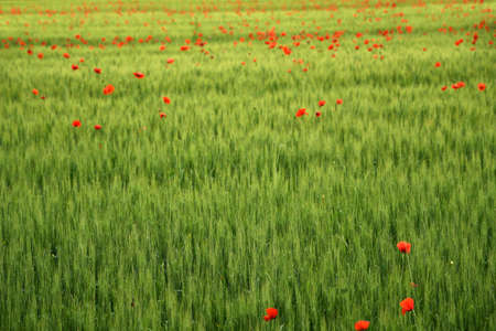 green wheat field with red poppies in spring
