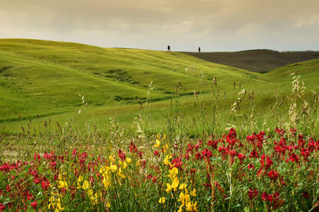 beautiful green rolling hills near San Quirico dOrcia and Lupinella flowers on foreground. Tuscany, Italy. Stockfoto