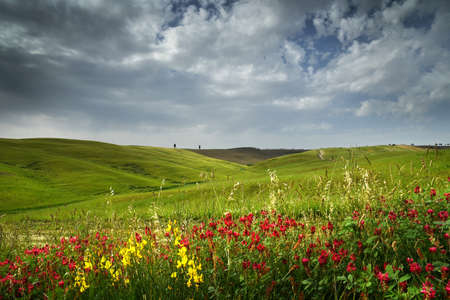beautiful green rolling hills near San Quirico dOrcia with blue cloudy sky and Lupinella flowers on foreground. Tuscany, Italy.