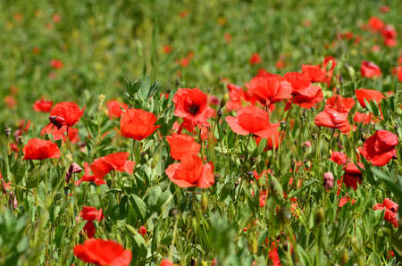 closeup on red poppies in a wheat field in Tuscany near San Quirico dOrcia (Siena). Italy.