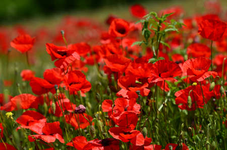red poppies in a wheat field in Tuscany near San Quirico dOrcia (Siena). Italy.