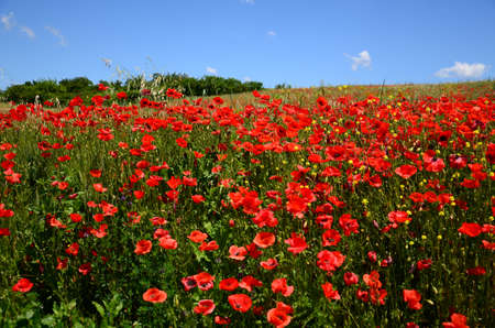 field of red poppies in a wheat field in Tuscany near San Quirico dOrcia (Siena) with blue sky. Italy. Banco de Imagens
