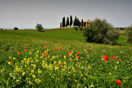 Pienza, Tuscany - June, 2019: Beautiful Tuscany landscape, farmland I Cipressini. Italian cypress trees and yellow flowers and red poppies on foreground. Located at Pienza (Siena). Italy
