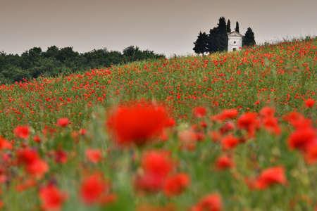 Pienza, Tuscany - June, 2019: Cappella Di Vitaleta or Vitaleta Chapel near Pienza in Tuscany. Beautiful field of red poppies and the famous Chapel on background. Siena, Italy.