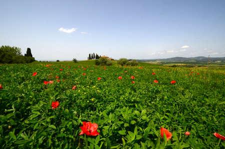 Pienza, Tuscany - June, 2019: Beautiful Tuscany landscape, farmland I Cipressini. Italian cypress trees and red poppies. Located at Pienza (Siena). italy