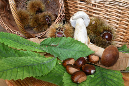 Chestnuts, hedgehogs with Boletus mushrooms and green leaves. Autumn food.