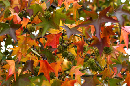 Beautiful yellow and red maple leaves in fall season. Autumn leaves dyed in beautiful colors.